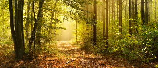 Footpath through Enchanted Forest in Autumn, Morning Fog illuminated by Sunlight