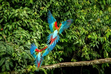 Red parrots landing on branch, green vegetation in background. Red and green Macaw in tropical forest, Peru, Wildlife scene from tropical nature. Beautiful bird in the jungle.