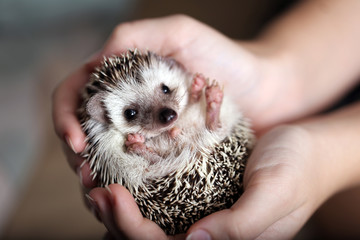 Cute african hedgehog on baby palms