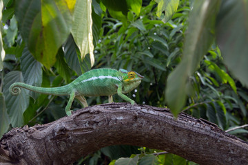 Panther Chameleon moves on a tree in the jungle of Nosy Komba Island, Madagascar