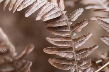 dried brown fern leaf macro