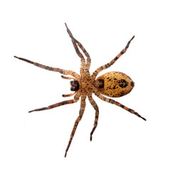Zoropsis spinimana, fałszywy pająk wilka, spód - zdjęcie zrobione przez szkło. Pojedynczo na białym.