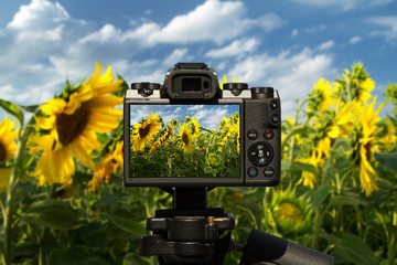 Camera and Field of beautiful sunflowers with blue sky and clouds