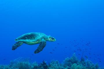 Żółw w ciepłej wodzie Morza Karaibskiego. Ten gad słonej wody cieszy się z ekosystemu dostarczanego przez rafę koralową