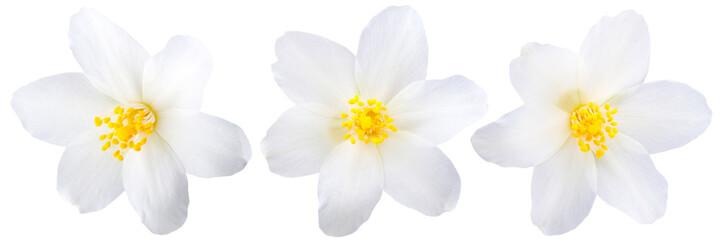 Single jasmine flowers isolated