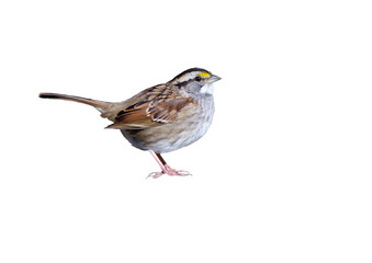 White-throated Sparrow on White Background, Isolated