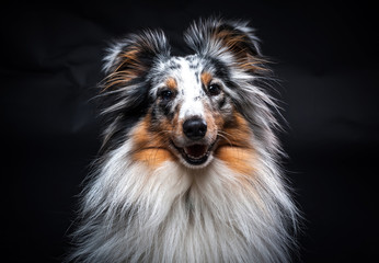 Portrait of Sheltie isolated on black background