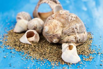 Veined rapa whelk, or Rapana venosa, sea shells and sand on bright blue background