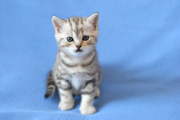 Kitten of the British breed is sitting on a blue blanket