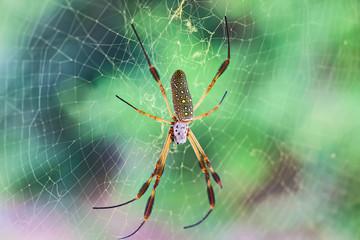 Złoty jedwabny pająk w jej sieci