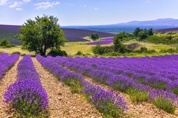 lawendowe pole z krajobrazem i drzewem, Ferrassières, Prowansja, Francja