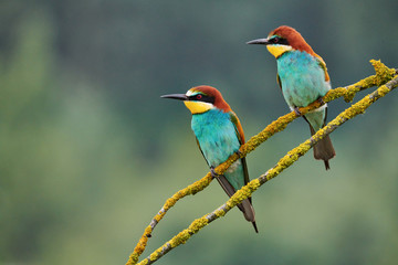 Two beautiful European bee-eaters (Merops apiaster)