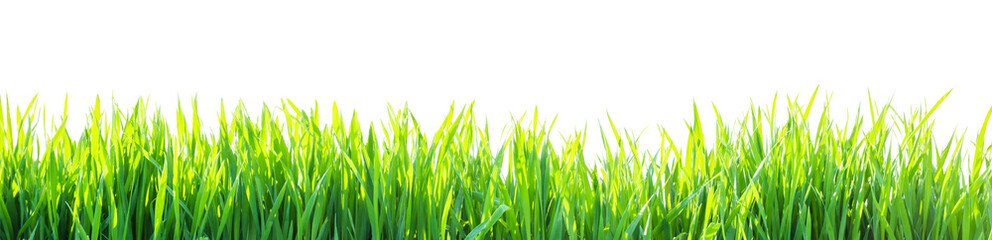grass isolated on white background
