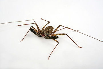 Geißelspinne (Damon diadema) - tailless whip scorpion