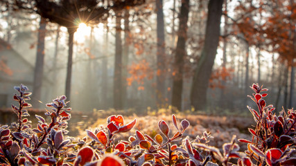 Zbliżenie berberysowi liście zakrywający z ranku mrozem