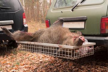 Polowane dzikie zwierzę leży w tylnym bagażniku samochodu