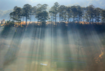 Pine forest in fog, ray and sunlight