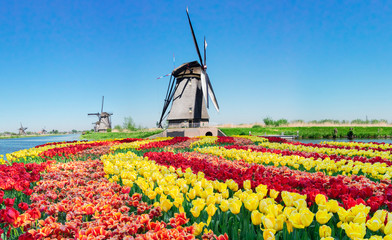 traditional dutch scenery with windmills over water and tulips in Kinderdijk at sunny summer day, Netherland