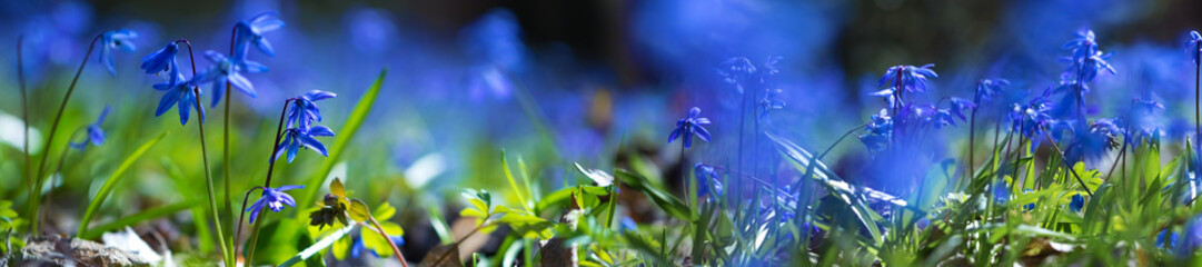 panorama blue scilla flower in a forest glade