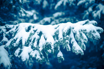 pine trees in winter time