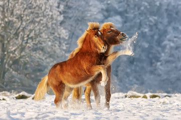 Two Icelandic horses, a foal and its mother, playing snowball fight