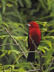 bird, nature, wildlife, robin, animal, red, branch, wild, colorful, bullfinch, blue, tree, cardinal, beak, birds, garden, green, sitting, beautiful, forest, feathers, feather, black, avian, Blood tye