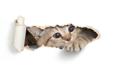 Funny cat looking through paper hole