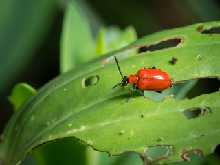 Scarlet lily beetle sitting on a green leaf with holes