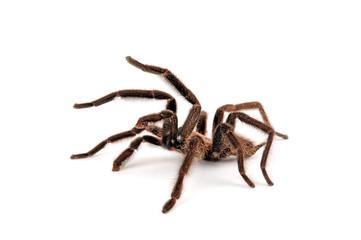 Vogelspinne von den Phillipinen (Orphnaecus sp. Cebu) - tarantula