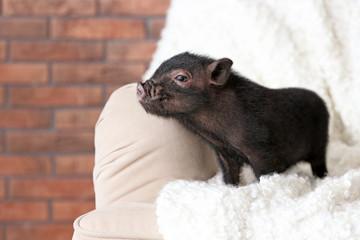 Adorable black mini pig on sofa at home