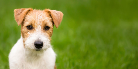 Web banner of a happy cute jack russell terrier pet dog puppy
