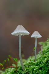 Bonnet mushroom, Mycena metata