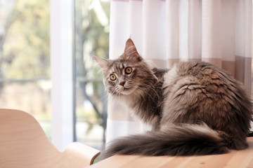 Adorable Maine Coon cat on table at home. Space for text