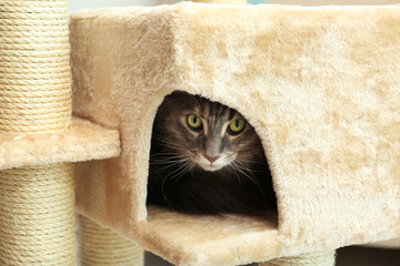 Adorable Maine Coon on cat tree at home