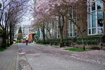 Beautiful pink flowers on trees. Spring season in Vancouver streets. Canada