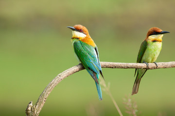 chestnut-headed bee-eater. Merops leschenaulti, or bay-headed bee-eater, is a near passerine bird in the bee-eater family Meropidae. It is a resident breeder in  Indian subcontinent &adjoining regiion