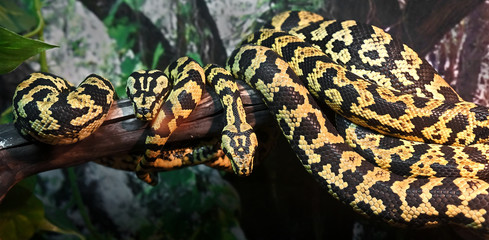 Two jungle carpet pythons. Latin name - Morelia spilota cheynei