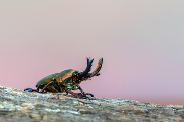 Stag beetle - Lamprima adolphinae