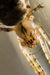 Spinne in Makroaufnahme