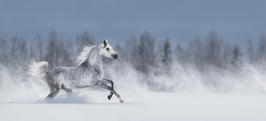 Popielaty koń arabski galopujący przez śnieżnego pole.