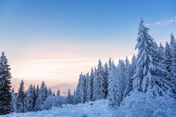 Lasowe sosny w zimie zakrywającej śniegiem w wieczór świetle słonecznym.