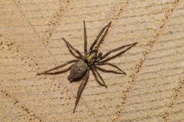 Esemplare di ragno comune (Zoropsidae) in primo piano