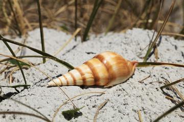 Sea shell on Florida beach