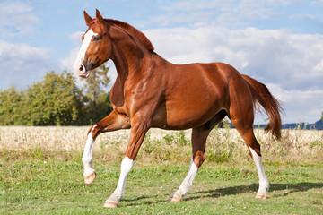 Ładny koń szczawiowy biegający na pastwisku w lecie