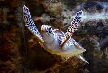 Sea turtle swims under water