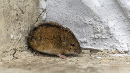 mouse in winter