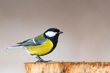Great tit, Parus major, sitting on winter feeder.