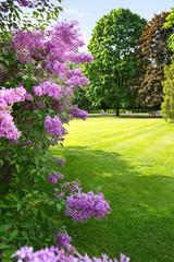 lilac tree against sunny, spring park landscape