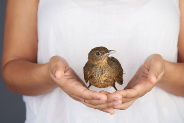 8441152 Brown trush bird in hand