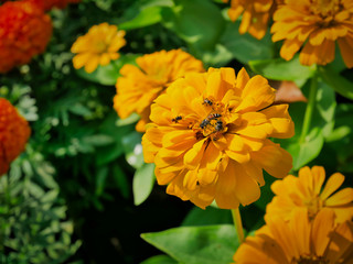 Close-up Bees on Marigold Flower with Selective Focus